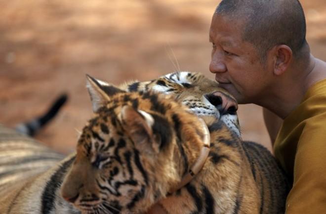tigertempletigerlove670
