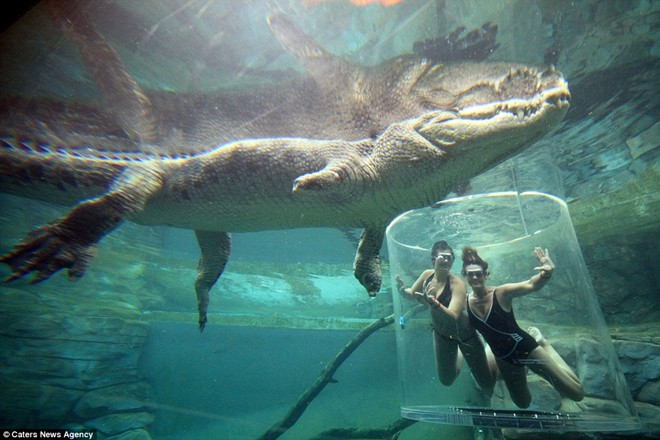 Swimming with the giant crocodile